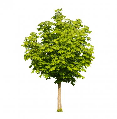 Green chestnut tree isolated on white
