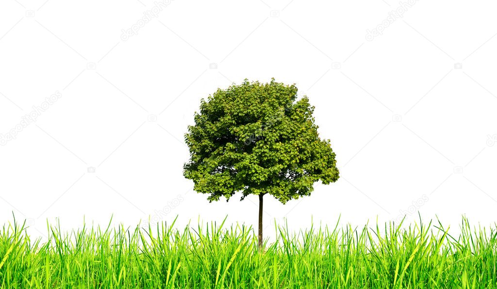 Maple tree and green grass isolated on white