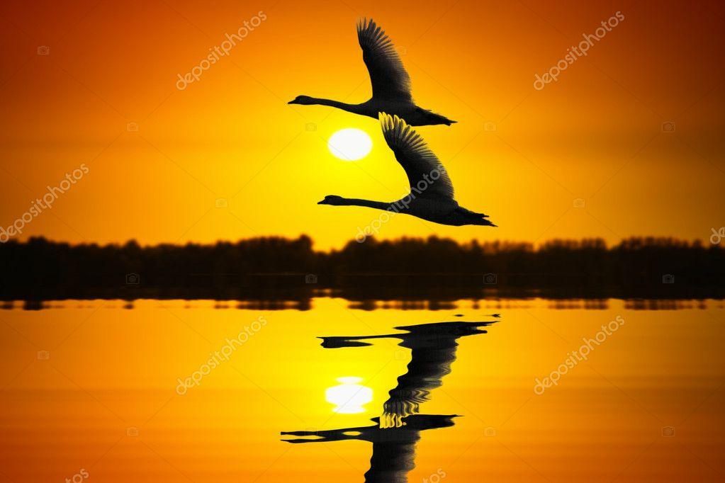 Fluttering Swans