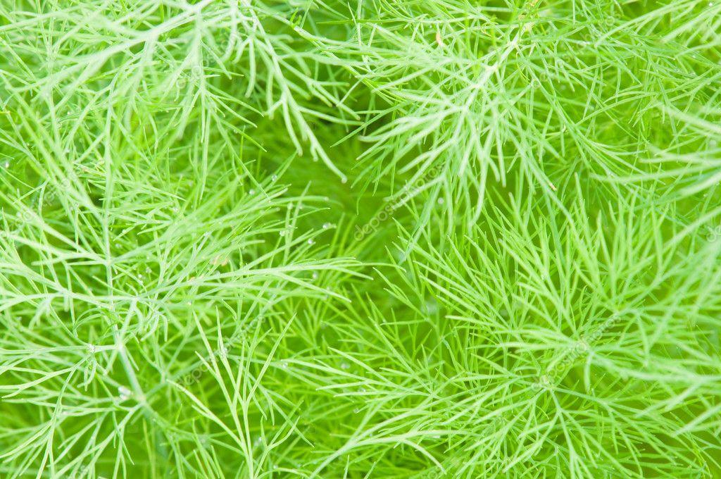 Plumose leaves of fennel