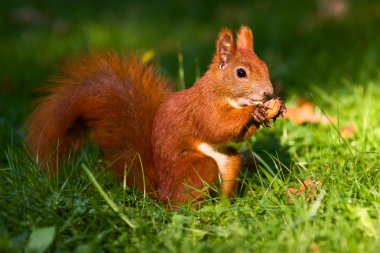 Red squirrel on the grass