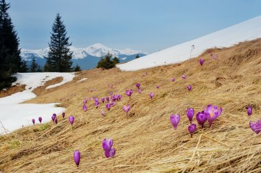 Spring landscape. Flowers and snow in mountains