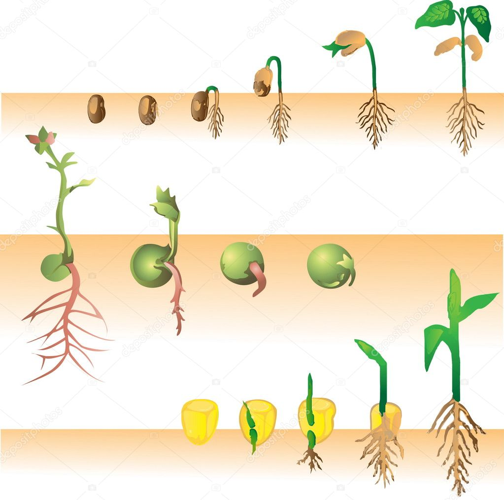 Plant growing vector illustration