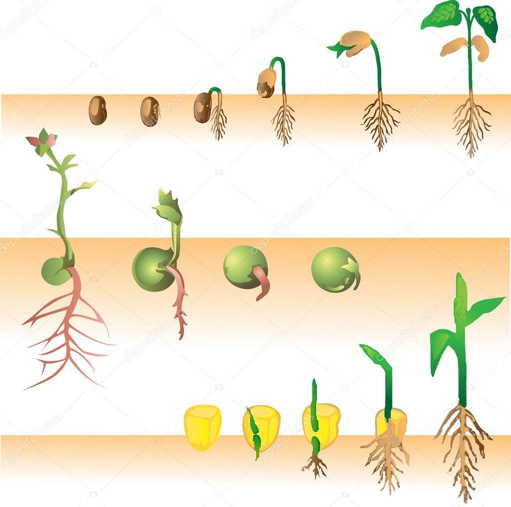 Plant growing vector illustration