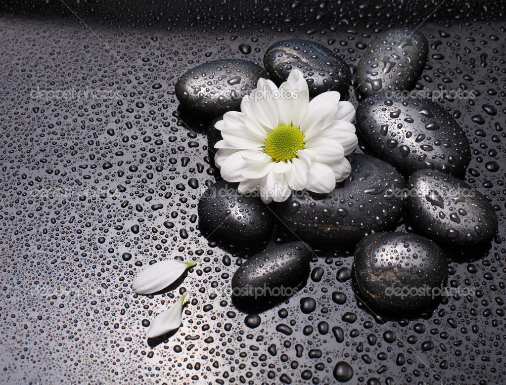 Black stones and white camomile flower with water drops
