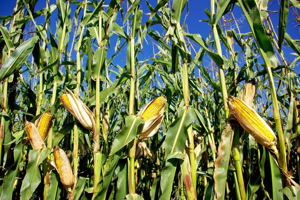 Yellow corn at portuguese farm