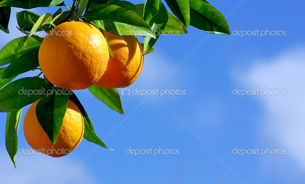 Oranges hanging tree