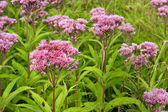 Fényképek Joe Pye Weed Wild Flowers (Eutrochium)