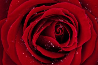LOVE, dark red rose macro shot with wonderful dew drops