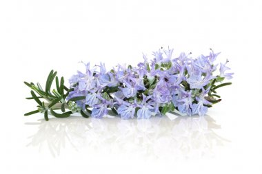 Rosemary Herb Flower