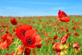 Photo Poppy flowers field
