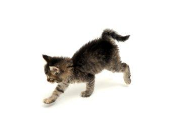 Gray Kitten Running