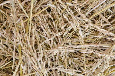 Close up shot of raw unprocessed rice stock vector