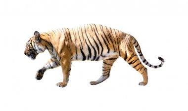 Tiger with isolated white backgrouind