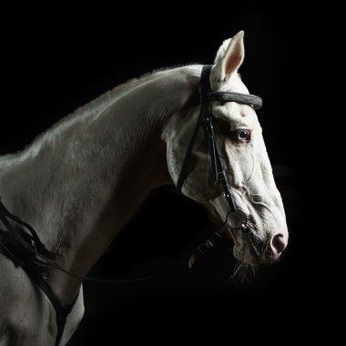 Closeup portrait white horse in the dark