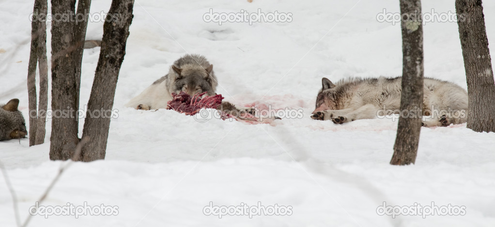 Wolf asleep after eating