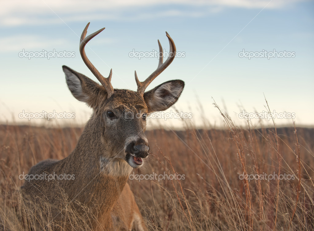 White tailed deer in the Blue Ridge Mountains of Virginia