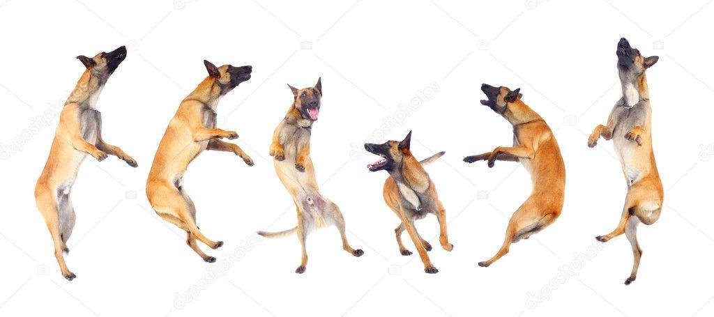 Belgian shepherd dog — Stock Photo © kokimk #3934232