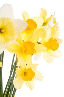 Daffodils on white