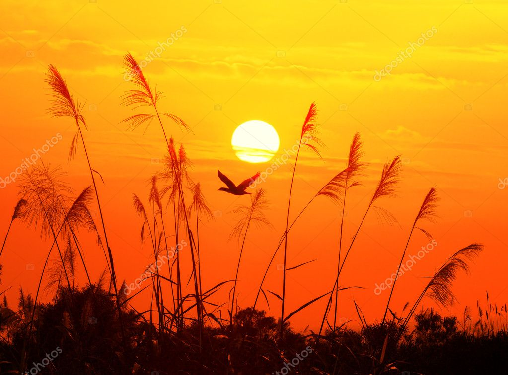Juncos contra luz del sol sobre fondo de cielo en puesta for Fondo del sol