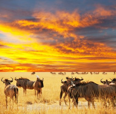 Antelope crowd