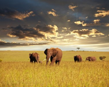 Elephant in Africa