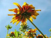 Hibrid rudbeckia (Rudbeckia x hybrida) ellen a kék ég