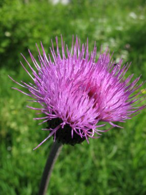 Field Thistle (Cirsium arvense), family Asteraceae