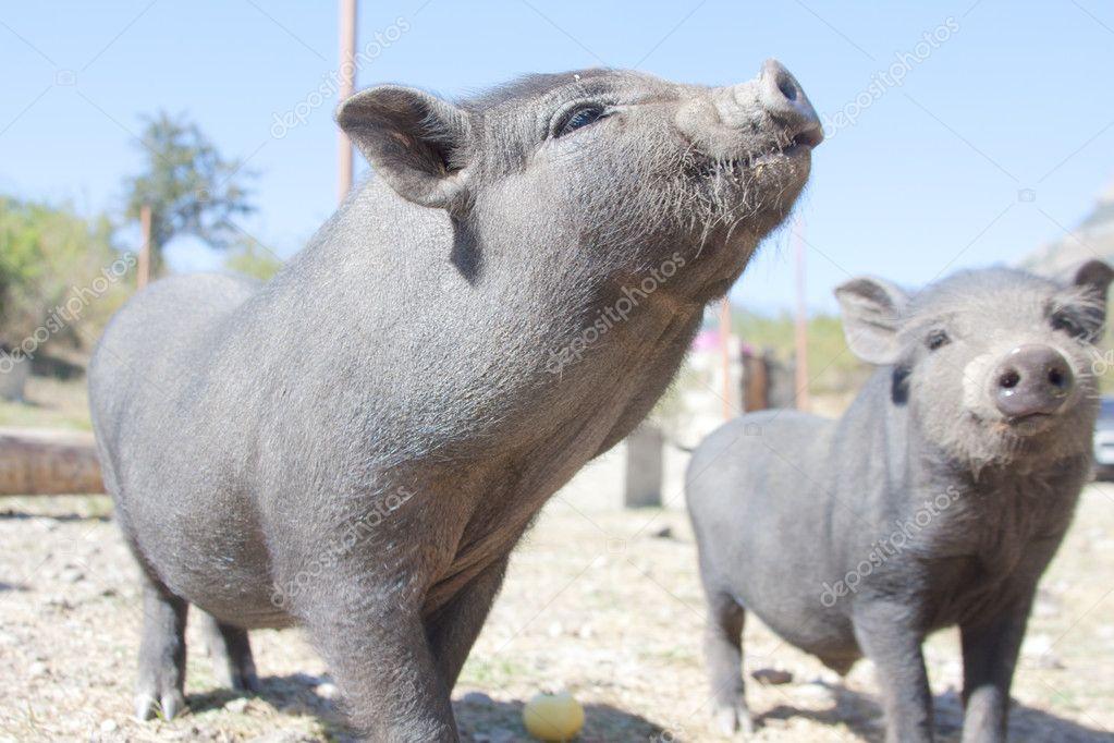 Curios piglets