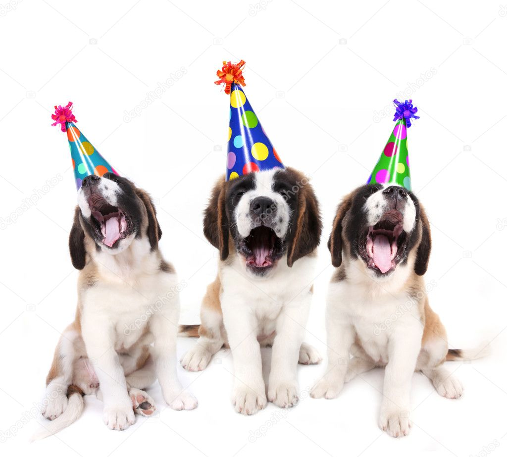 Birthday Singing Saint Bernard Puppies With Party Hats Photo By