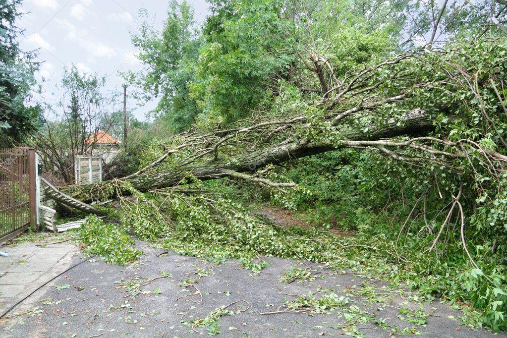 Damaged fallen tree
