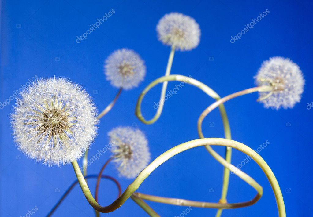 Group of curly dandelions on blue