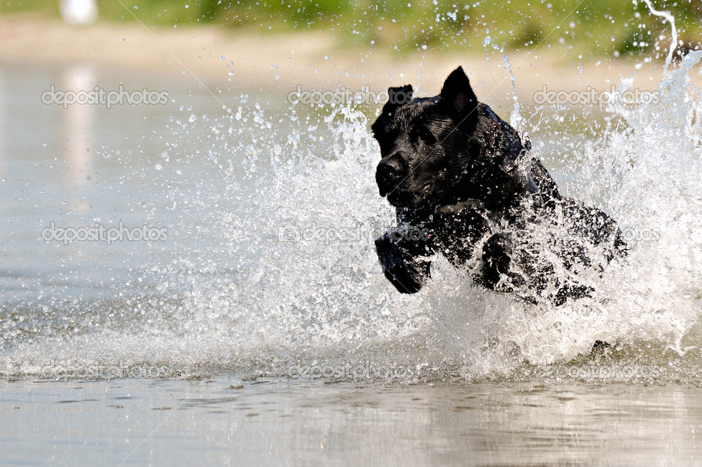 Black dog in water