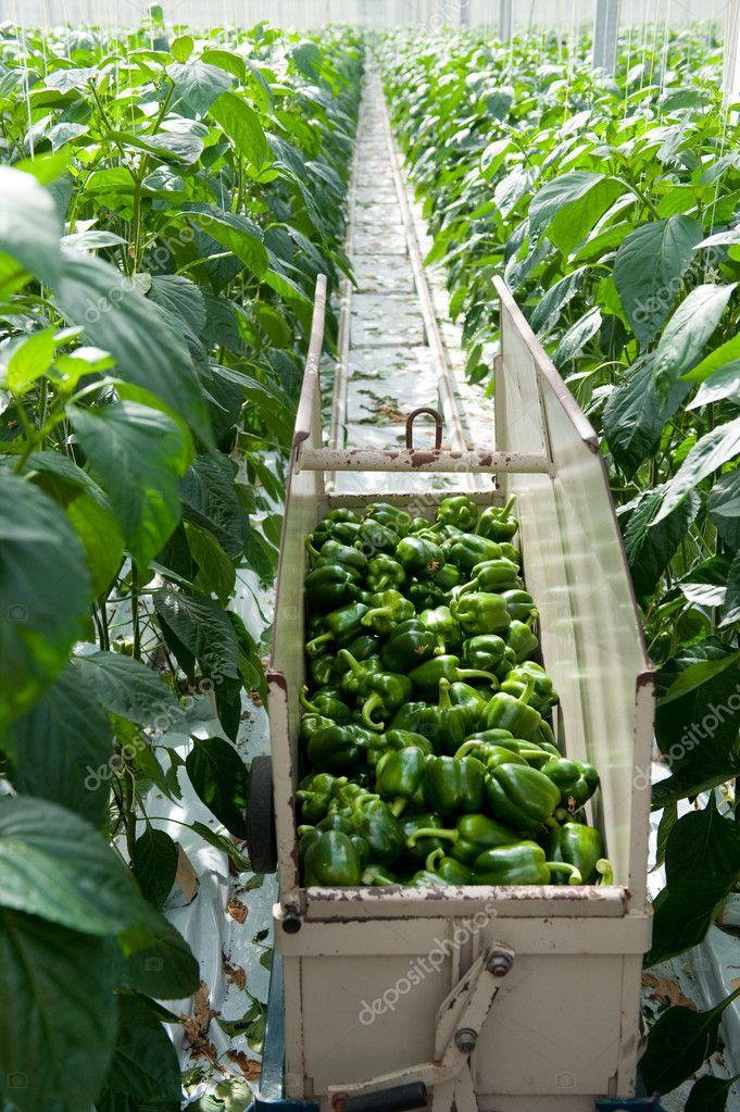 Paprika termesztése a Zöldségkertben