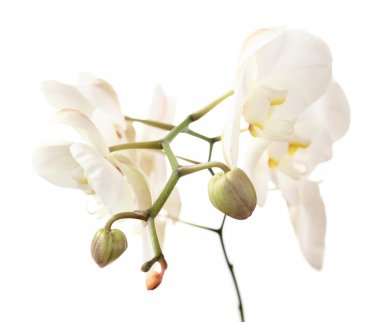 Orchid on a white background (phalaenopsis) stock vector