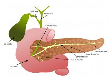 Pancreas, duodenum and gall bladder