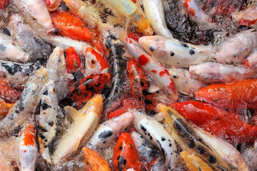 Mass carp feeding close up