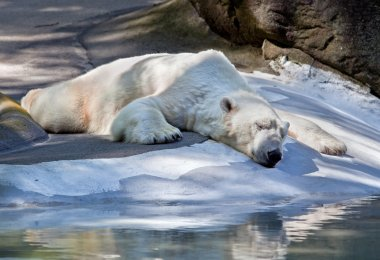 Sleeping polar bear.