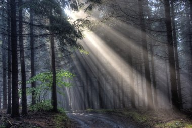 God beams - coniferous forest in fog