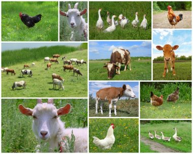Farm animals and birds, collage