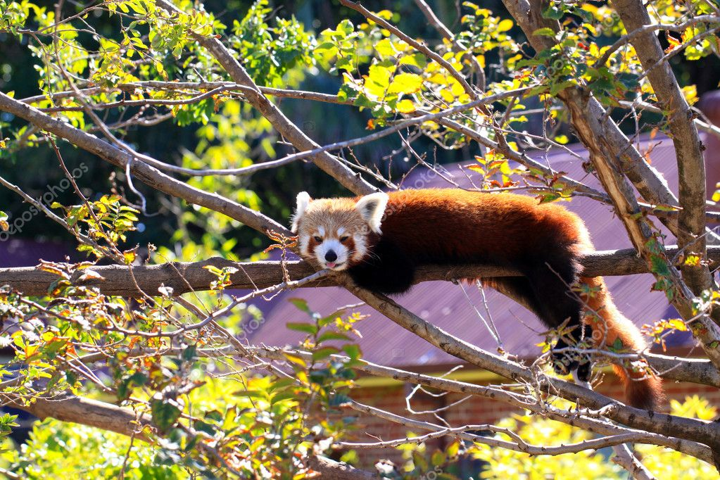 Red Panda poking its tongue out while resting on tree branch
