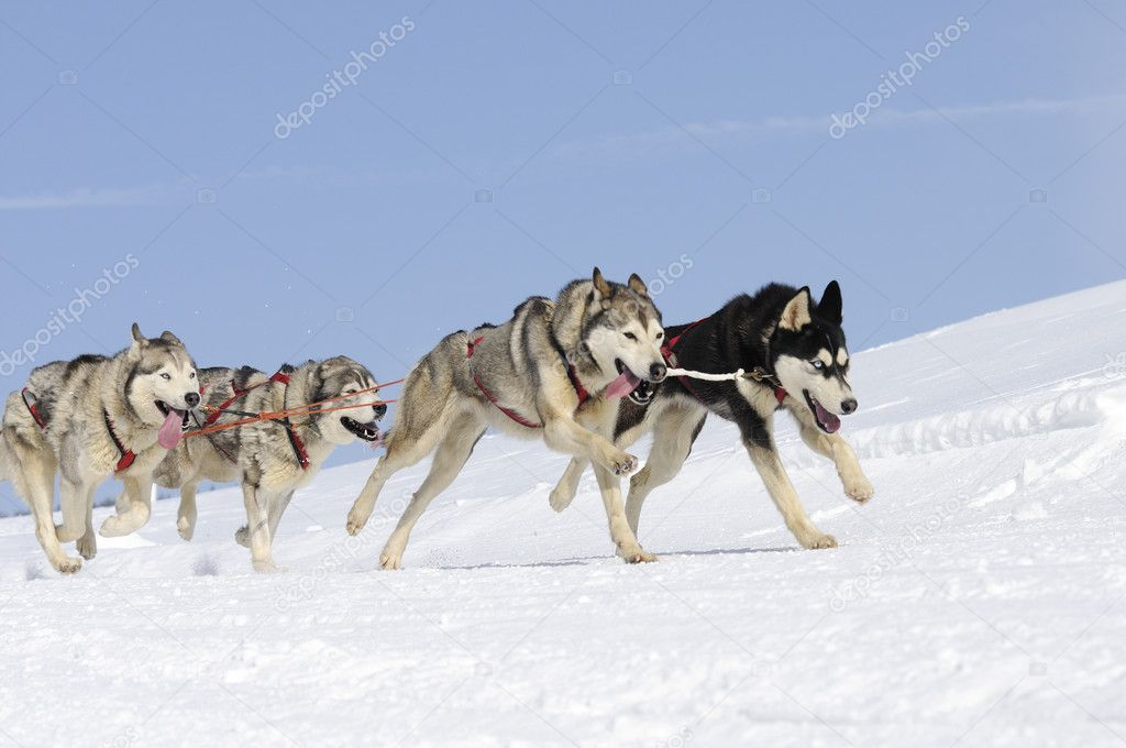 Sportive dogs in the mountain