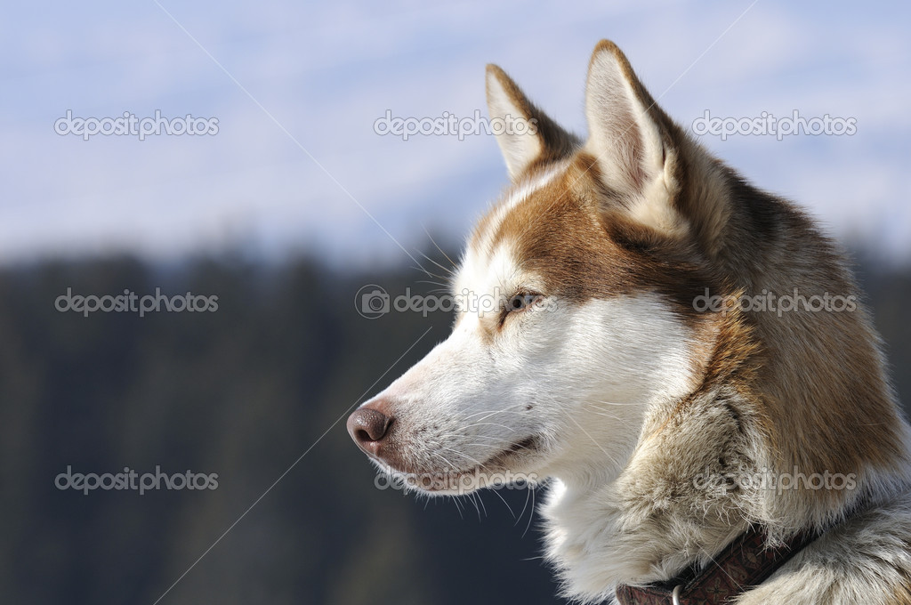 Husky alaskan dog