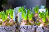 Photo Growing Hyacinths