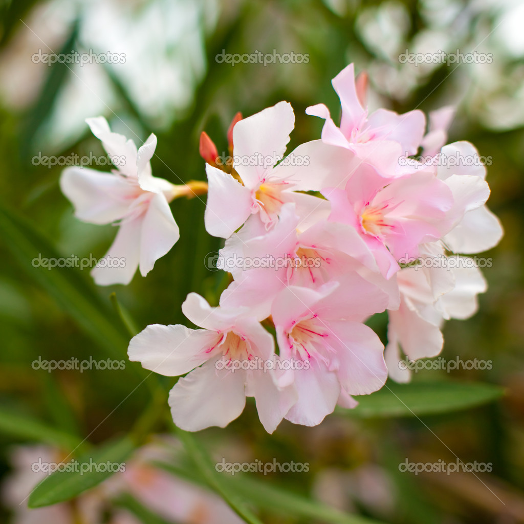 Pink Bush Flowers On A Green Leaves Background Stock Photo