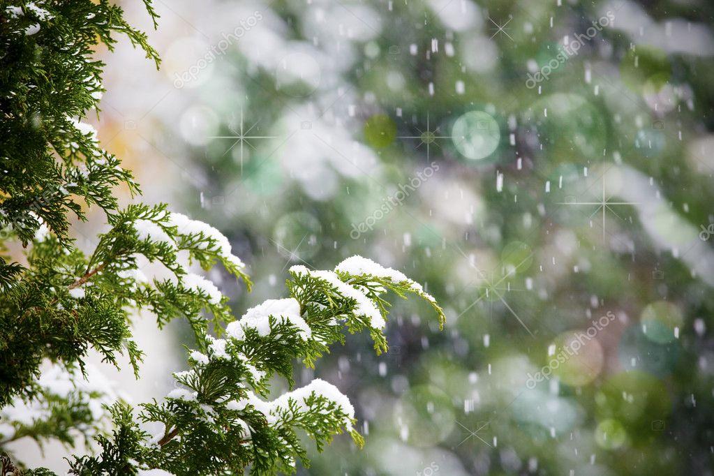 Fresh snow falling on cedar pine tree branches