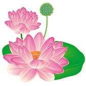 Fényképek reális keleti lotus