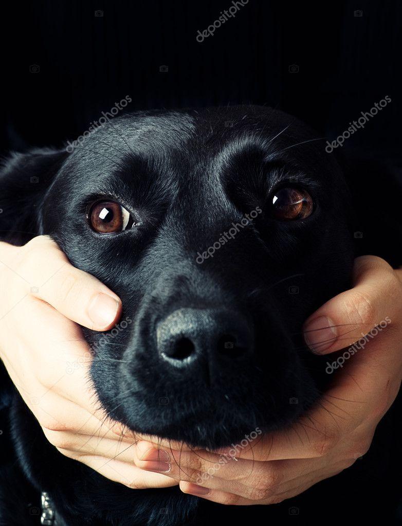 Handsome Labrador