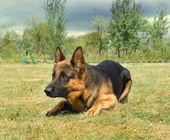 Fotografie Porträt des deutschen Schäferhundes über die Natur