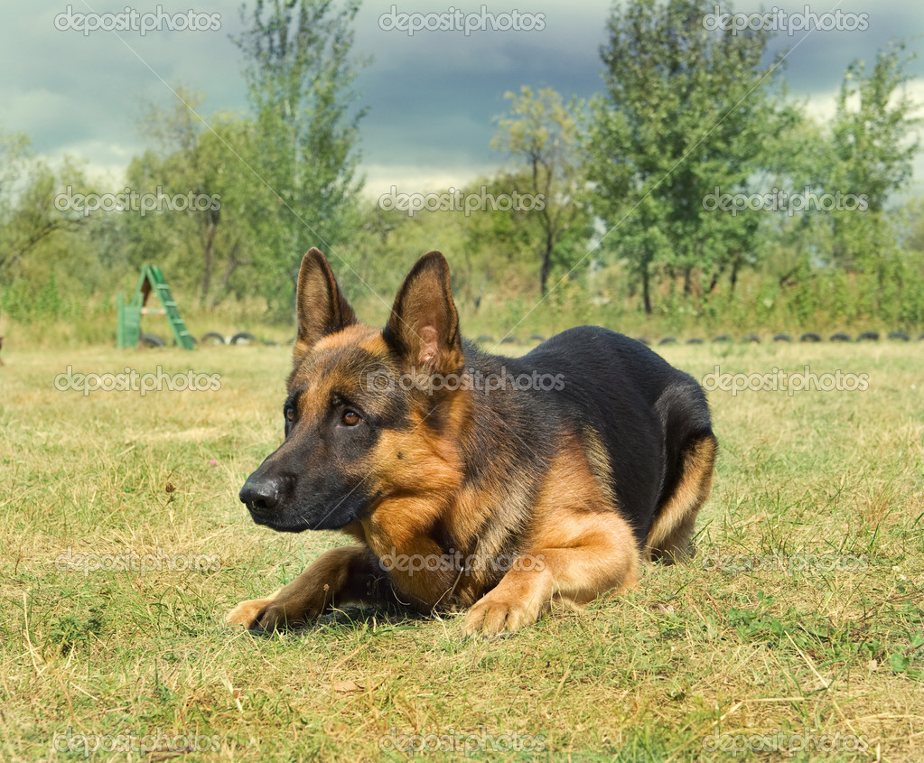 Portrait of german shepard dog on the nature